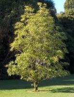 lemonwood-species-crop-atx-tree-botanics.jpg