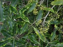 lemonwood-berries-atx-tree-species.jpg