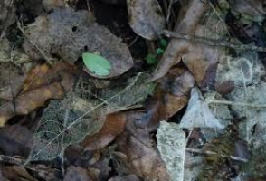 mahoe-skeleton-leaf-atx-tree-botanics.jpg