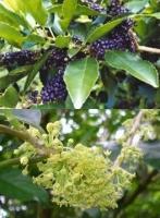 mahoe-fruit-leaf-combined-arbortechnix-tree-botanics.jpg