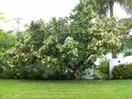 mahoe-tree-specimen-atx-tree-botanics.jpg