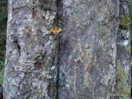 miro-bark-atx-tree-botanics.png