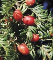 miro-berries-arbortechnix-tree-species.jpg