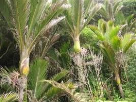 nikau-palm-tree-species-nz-atx.jpg