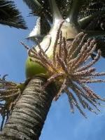 nikau-flower-blossom-tree-species-arbortechnix.jpg