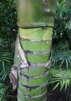 nikau-trunk-rings-atx-tree-reference-species.jpg