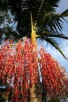 nikau-fruit-cluster-tree-botanics-arboretchnix.jpg