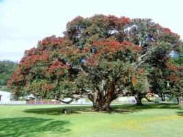 pohutukawa-specimen-tree-species-atx.jpg