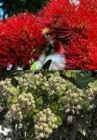 pohutukawa-flower-fruit-botanics-combined-atx.jpg