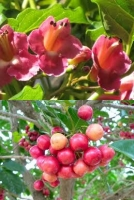 puriri-flower-berries-image-combined-tree-species-arbortechnix-tile.jpg