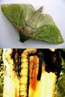 puriri-moth-adult-larva-tree-botanics-arbortechnix-combined.jpg