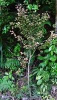ramarama-specimen-juvenile-atx-tree-botanics.jpg