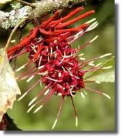 rewarewa-flower-arbortechnix-tree-species.jpg