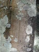 rewarewa-trunk-atx-tree-species.jpg