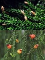rimu-leaves-flowers-image-combined-arbortechnix.jpg