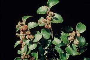 silver-beech-leaf-flower-tree-botanics-arbortechnix.jpg