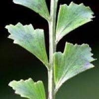 tanekaha-leaf-thumbnail.jpg