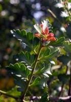 tanekaha-flowers-atx-botanics.jpg