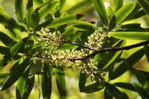 toru-leaf-flower-tree-species-arbortechnix.png