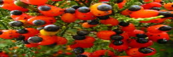 kahikatea-berries-atx-tree-species.png