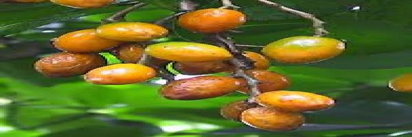 karaka-fruit-arbortechnix-tree-species.png