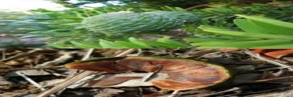 kauri-leaf-cone-seed-tree-species-combined-atx.jpg