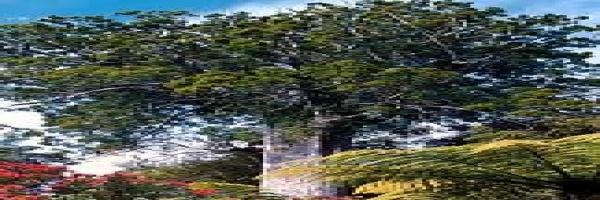 kauri-mature-spread-crown-atx-tree-botanics.jpg