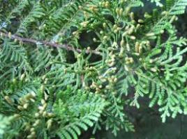 kawaka-flower-arbortechnix-tree-botanics.png