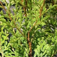 kawaka-leaf-atx-tree-botanics.jpg