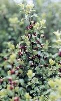 kohuhu-flower-leaf-atx-tree-botanics.jpg