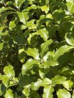 kohuhu-leaf-atx-tree-species.jpg