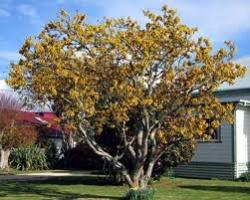 kowhai-specimen-tree-arbortechnix-tree-classification.jpg