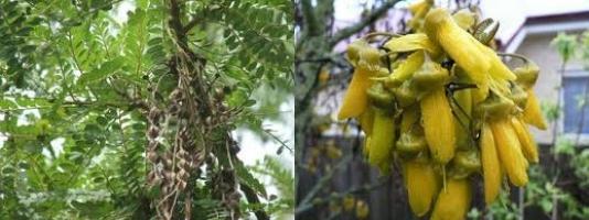 kowhai-seeds-leaves-flowers-combined-atx-tree-botanics.jpg