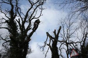 aerial-dismantle-reduction-pollard-large-tree-management