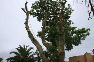 canopy-dismantle-arbortechnix-tree-work-auckland