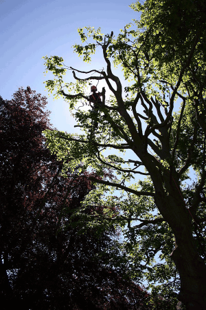 copper-beech-sunshine-aerial-operations-tree-work