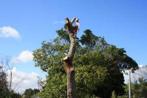 dead-standing-oak-trunk