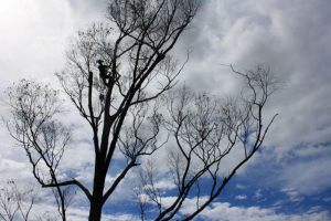 eucalyptus-dead-standing-structure-upper-crown