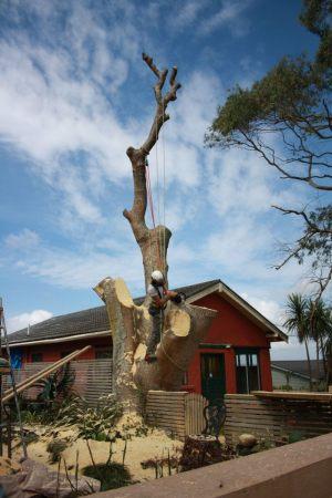 flame-tree-structural-dismantle-arbortechnix-tree-services
