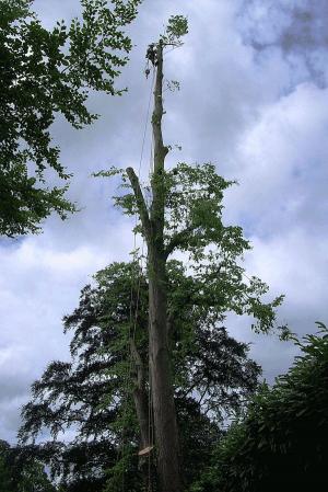 high-pollard-aerial-tree-surgery-arbortechnix-tree-work