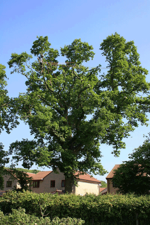 lateral-traverse-reroute-oak-aerial-reduction-and-shaping