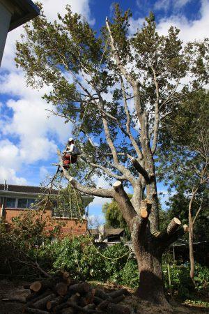 oak-dismantle-auckland-tree-services-arbortechnix