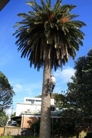 phoenix-palm-ascent-atx-tree-services-auckland