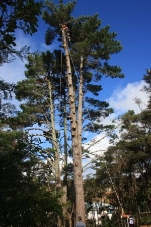 pine-dismantle-lowering-operations-tree-work-auckland-2