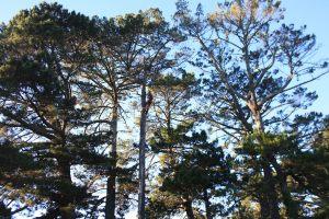 pine-pole-climb-tree-services-auckland-resize