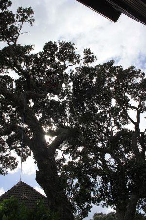 pohutukawa-lowering-arbortechnix-auckland-tree-work
