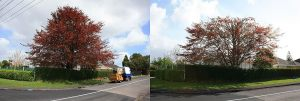 copper-beech-reduction-before-after-resize