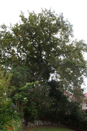 oak-thin-before-resize