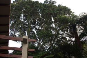 pohutukawa-bush-thinning-before