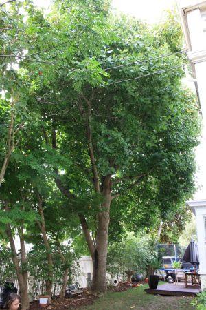 tulip-tree-canopy-thin-before-resize